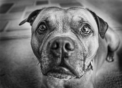 bear [explored] (jimbo1234) Tags: white black dogs portraits cornwall staffies