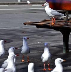 May I have your attention please? (saanjaybhatia) Tags: seagulls sydney australia circularquay saanjaybhatia