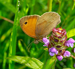 Lunch out (In10ctee) Tags: flower macro london butterfly out insect lunch purple britishisles british meadowbrown walthamabbey monong ronaldmonong