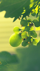 Grapes in focus (Murtaza Mahmud) Tags: trip travel pakistan flower macro green nature fruits trekking 50mm bokeh grapes brightcolors colorsofnature