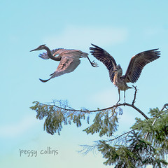 V for Victory (Peggy Collins) Tags: canada heron couple britishcolumbia pair victory greatblueheron sunshinecoast textured herons territorial birdinflight twobirds vforvictory heronflying birdsonbranch peggycollins sailsevenseas heronsintree