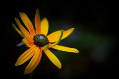 A light in the darkness (mennomenno.) Tags: flowers yellow garden geel bloemen eigentuin