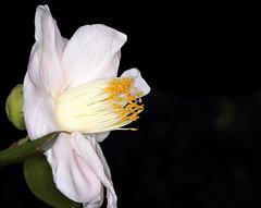 Camellia japonica (sandy richard) Tags: gardens longisland plantingfields plantingfieldsarboretum sandyrichard sandrarichard