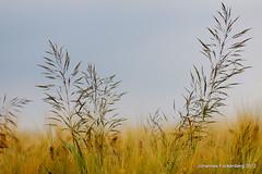 Sommerwind (grafenhans) Tags: zeiss carl 135 35 landschaft gräser sonnar grafenwald slt55