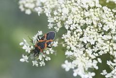 Small milkweed bug on Queen Anne's Lace (Alison Margaret) Tags: macro closeup bug insect daucuscarota queenanneslace truebug hemiptera lygaeuskalmii smallmilkweedbug lygaeidae aposematic aposematism