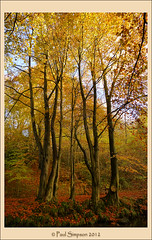Autumn Colours (Paul Simpson Photography) Tags: uk autumn trees portrait england orange tree fall nature beautiful beauty leaves forest gold colours photos britain images panasonic northumberland northumbria passion gb northeast autumnal beautifulscenery nicephotos prettypictures prettyasapicture imageof photoof niceimages englishwoodland wonderfulviews imagesof stunningphotos photoswith woodlandscenes woodlandviews englishphotos november2012 lumixtz30 paulsimpsonphotography nauralworld stuningphotography nicewoodland