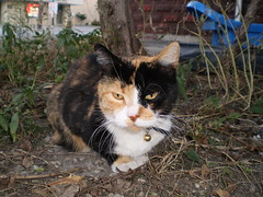 Autumn (universalcatfanatic) Tags: blue autumn red orange cats white black brick eye grass sign gold golden eyes bell bricks ground tortoiseshell calico tortie crouch crouching cag