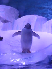 Go on, have a fish (Quite Adept) Tags: penguin march spring gentoo hull thedeep 2014 gentoopenguin