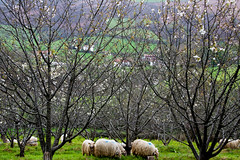 5 (mathiilde.b) Tags: france flower nature fleur animal spring europe sheep country arbres campagne basque printemps euskadi paysbasque brebis