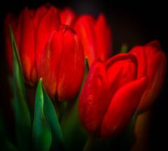 Tulips (Irena_ka) Tags: red challengegamewinner friendlychallenges thechallengefactory pregamesweepwinner pregameduelwinner