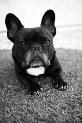 Darker (Lainey1) Tags: bw dog monochrome oz sigma bulldog frenchie frenchbulldog ozzy foveon frogdog lainey1 foveonsensor elainedudzinski dp2m sigmadp2m