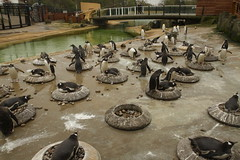 Zoo (Szmytke) Tags: zoo penguin scotland edinburgh breeding