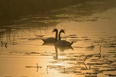 Swamp swans in love (ristic.vedran42) Tags: silhouette sunrise swan nikon swans swamp tamron70300 baranya baranja d3200 podunavlje