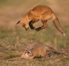 Red Fox kits (missymandel) Tags: redfox ontariowildlife foxkits missymandel