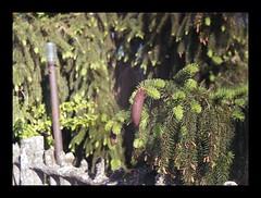 pine cone by Momikon ;/) (schyter) Tags: red color film lens mom 50mm colore fuji tank o 4 budapest barrel 1954 homemade short ap epson v600 expired magyar development compact analogica pianta analogic 100iso c41 pellicola 30c 13550 allaperto lodigiano sverdlovsk 24x32 tetenal scaduta colortec mvek basiasco optikai sovietlightmeter ymmar momikon homemadescanned