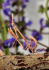 Hypsicorypha gracillis (Celimaniac) Tags: macro mantis insect prayingmantis mantide gottesanbeterin fangschrecke nikond3s hypsicoryphagracillisigm275