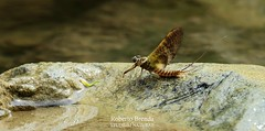Ecdyonurus venosus (Roberto PE) Tags: heptageniidae venosus ecdyonurus