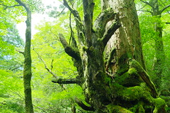 Yakushima #4 (k_t) Tags: green forest cedar yakushima mossy yaku
