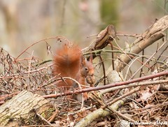 Le voleur de noix (Guillaume About) Tags: squirrel cureuil
