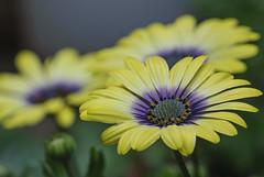 Blue Eyed Beauty ! (Filsa Bint Ahmed) Tags: flowers blue white floral yellow garden lavender delight daisy africandaisy bicolor wideopen osteospermum diasies blueeyedbeauty