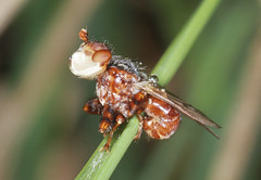 Photo of Thick-headed Fly - Conopid