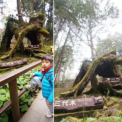 DSC01663 (YUKI Hsu / nlyuki) Tags: chiayi 阿里山 嘉義 sacredtree 神木 阿里山國家風景區 shenmu alishannationalscenicarea 情人果2y2m 可樂果6y3m