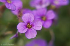 Aubretia ( Annieta ) Tags: flower netherlands fleur garden spring flora sony nederland jardin mei tuin lente allrightsreserved bloem 2016 krimpenerwaard annieta a6000 usingthispicturewithoutpermissionisillegal