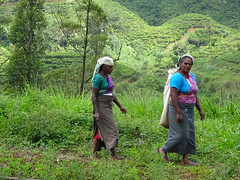 Tea pickers, Nuwara Eliya (Ronald van Beuningen) Tags: vacation holiday vakantie tea srilanka thee reizen nuwaraeliya teapickers theeplukkers