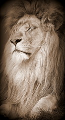Lion muse. (felixtree) Tags: cats animal animals cat lion lions felixtree