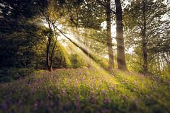 A Walk in the Woods (Uillihans Dias) Tags: park uk flowers edinburgh unitedkingdom sony rays fe a7 samyang sonya7 samyang14mmf28 ravelstonpark