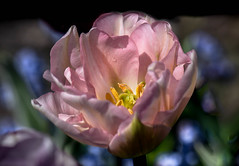 Pastel Spring!! (Good Nature One) Tags: pink blue white black flower macro green nature yellow bloom pastelspring