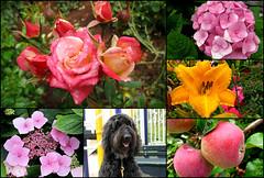 Flower Walk in the Neighborhood (Bennilover) Tags: camera flowers roses dog dogs rose walking may neighborhood daylily apples hydrangea labradoodle benni rosebuds lacecaphydrangea