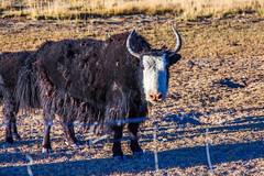 A yak in Tibet (Kelvinn Poon) Tags: yak tibet
