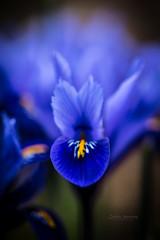 Blue tongue (nemi1968) Tags: canon canon5dmarkiii markiii oslo blue bokeh closeup flower flowers macro petal petals tongue
