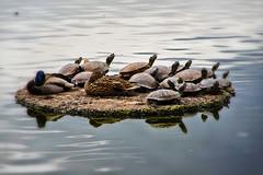 (p.fabian) Tags: japan turtle jp pato  nara tortuga ente tier vogel schildkrte japn  naraken kashiharashi