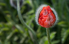 Poppy Fascination... (Rainer Fritz) Tags: red rot germany northsea poppy langeoog nordsee knospe