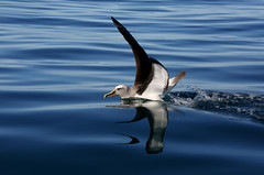 Buller's Albatross (whitebear100) Tags: sea newzealand nz southisland kaikoura seabirds albatross bullersalbatross
