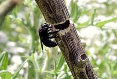 7/8 Timber - 24 V 2016 (el.gritche) Tags: hymenoptera france 40 garden apidae xylocopinae xylocopa xylocopairis iris nest behavior female bee abeille