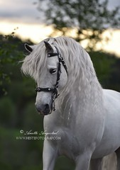 Prancing Proud (Hestefotograf.com) Tags: show friends summer horse white black girl norway bareback jump mare dress lets hannah go run riding pony barefoot welsh arabian elegant cob bestfriend rider equestrian stallion canter equine equus equipage skien lippizaner purarazaespanol