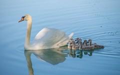swan's family (17) (Vlado Ferenčić) Tags: birds animals lakes croatia swans animalplanet hrvatska nikkor8020028 nikond600 zaprešić swansfamily lakezajarki