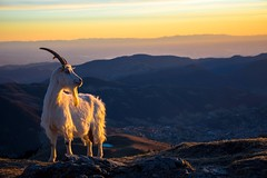 Capra Metafisica (Alieno95) Tags: winter sunset panorama sun mountain nature gold nikon tramonto goat natura sole inverno montagna oro lightroom pizzo capra farno formico