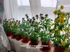 Violas mixed in bedroom window 22-06-2016 002 (D@viD_2.011) Tags: june bedroom windowsill 2016 violas