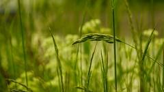 green (Yasmine Hens) Tags: green nature europa flickr belgium sony ngc vert brin herbe namur hens yasmine wallonie iamflickr flickrunitedaward sonyrx10m3 hensyasmine