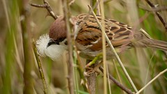 Lining the Nest (J @BRX) Tags: uk england bird spring nest feather sparrow lining barnsley rotherham nestbuilding treesparrow southyorkshire rspb wombwell lowmoor gardenbird april2016