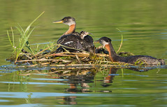 Red-neck Grebes (Moira F.) Tags: grebes rednecked