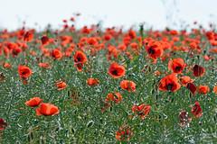 Aprs la pluie dans un champ de colza (Excalibur67) Tags: red landscape rouge nikon poppies paysage tamron papaver coquelicots pavots d7100 sp70300divcusd