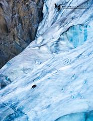 Black_bear_Kenai_Fjords_2016_1 (DawnWilsonPhotography) Tags: bear blue ice vertical alaska glacier kenaipeninsula blackbear kenaifjordsnationalpark