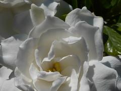 Λευκό άρωμα!    P1000326 (amalia_mar) Tags: γαρδένια λουλούδι λευκό gardenia