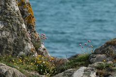 Colours of the coast (jillyspoon) Tags: colour coast scotland moss thrift lichen pinks irishsea pinkandyellow monreith