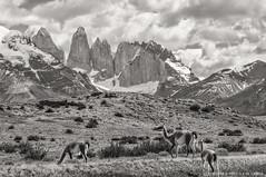Patagonian Landscape (Priscila de Cássia) Tags: wild blackandwhite bw patagonia mountain mountains animals contrast nikon wildlife pb torresdelpaine wilderness pretoebranco guanacos torresdelpainenationalpark nikond90